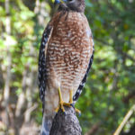 Red Shouldered Hawk - Suwannee River