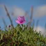 Salt Marsh Morning Glory