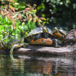 Turtle Family - Rainbow River