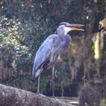 Wiggle Tongue Heron