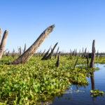 Cypress Stalagtites - Ocklawaha River