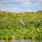 Heron on the Ocklawaha River