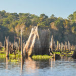 Large Ocklawaha Cypress Stump