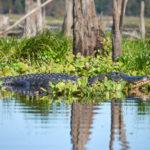 Large Ocklawaha Gator
