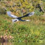 Ocklawaha Heron