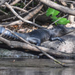 Resting Ocklawaha Alligator