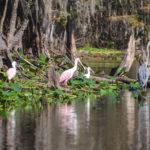 Roseastte Spoonbill, Ibis, Blue Heron