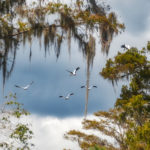 Storks over the Ocklawaha River