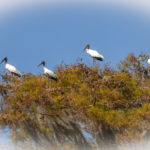 Storks perched over the Ocklawaha River