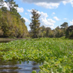 Tobacco Patch Spring Run - Ocklawaha River