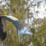 Wood Stork Flies Over Kayak