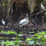 Wood Stork - Ocklawaha River