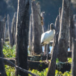 Wood Stork amid Ruins