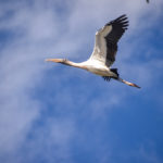 Wood Stork over the Ocklawaha River