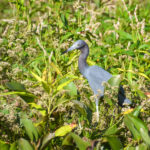 Young Tri-colored Heron - Ocklawaha River