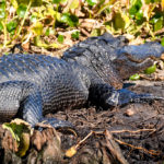 A young Gator - Ocklawaha Drawdown