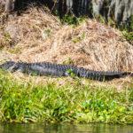 Lazy Ocklawaha Gator