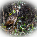 Limpkin with Mussel