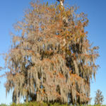 Nest in the Bald Cypress