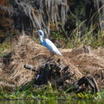 Ocklawaha White Heron