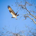 Osprey Takes Flight - Ocklawaha River