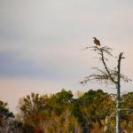 Osprey in Distant Tree