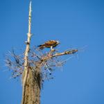 Osprey on Watch over the Ocklawaha
