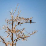 Two Eagles along the Ocklawaha River