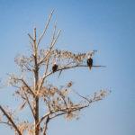 Two Eagles along the Ocklawaha River