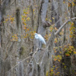 Great White Egret on the Wekiva River