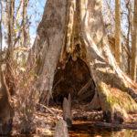 Hollow Cypress Tree - Ocklawaha River