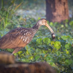 Limpkin with Shell