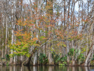 Maple on the Ocklawaha River
