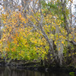 Maple on the Wekiva River