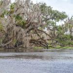 Oak over the Wekiva River