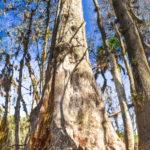 Old Cypress 30' Girth