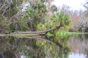 Palm over Wekiva River