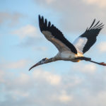 Stork Flies Overhead