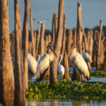 Two Storks - Evening Ocklawaha River