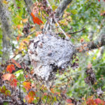 Wasp Nest in Maple Tree