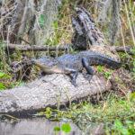 Wekiva River Gator