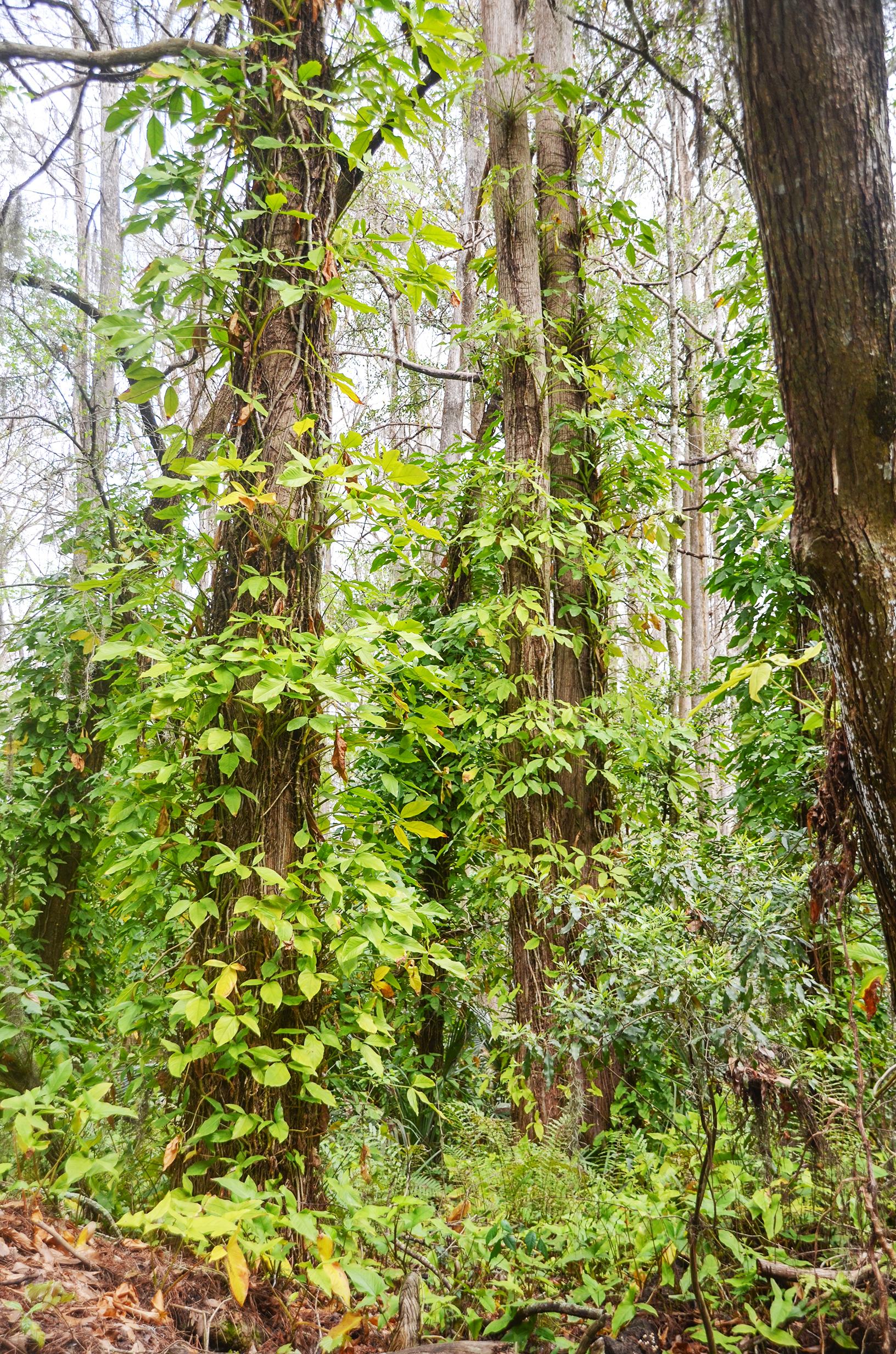 Arrowhead Vine - Syngonium podophyllum