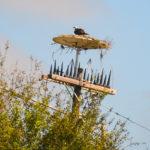Freaky Osprey Nest