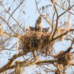 Heron Nest - Dora Canal