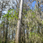 Large Cypress Trunk - Dora Canal