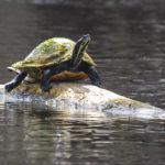Santa Fe River Turtle