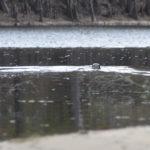 Swimming Otter - Santa Fe River