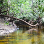 Alafia River Palm
