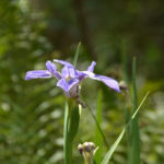 Blue Flag Iris - Little Manatee River