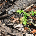 Cypress Seedling - Ocklawaha River